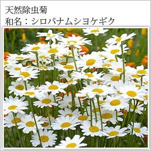 天然除虫菊配合 菊の香り 30巻